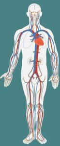 Het bloedvatsysteem