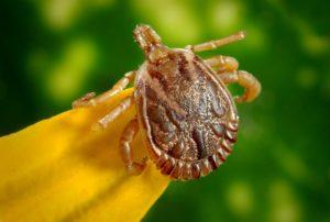 De ziekte van Lyme wordt door teken overgebracht