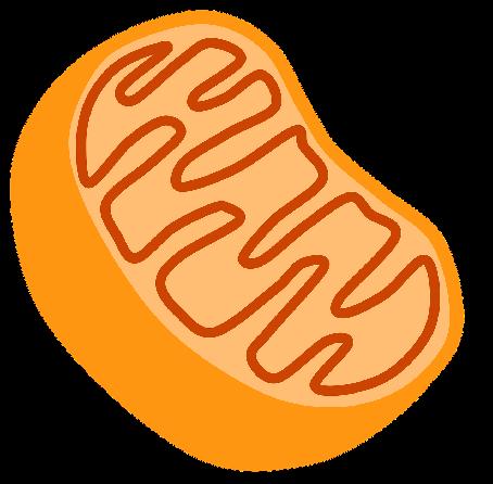 Mitochondriën zorgen voor celenergie